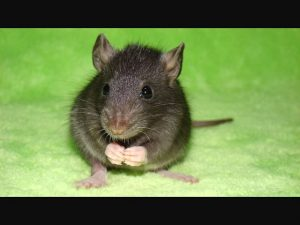 Уничтожение крыс мышей Юбилейный